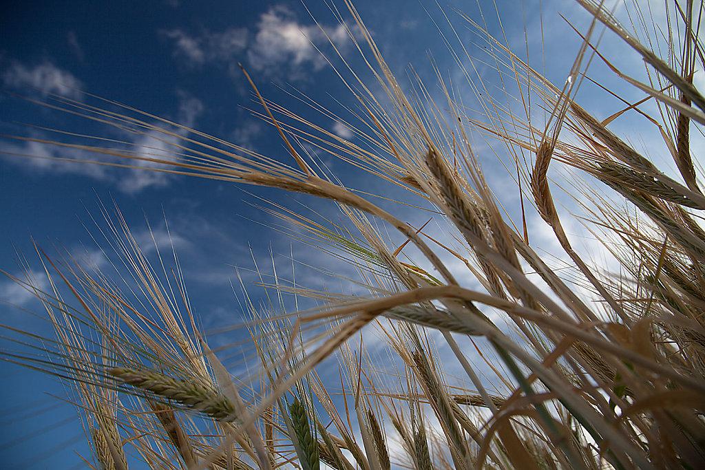 Bathing barley