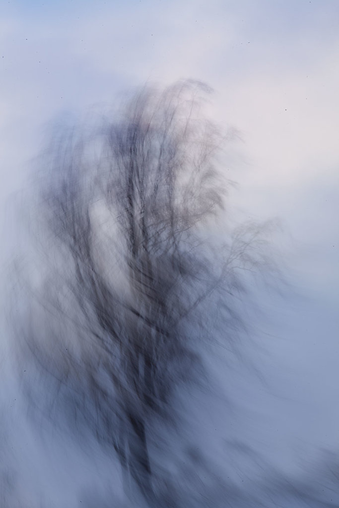 Birch in motion
